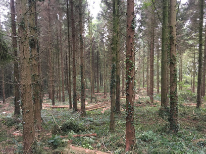 Thinning in Devon with Weeks Forestry